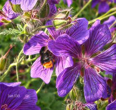 Where the bee sucks (Jan 130) Tags: bee bumblebee geranium cranesbill purple jan130 topaz picmonkey home ngc npc