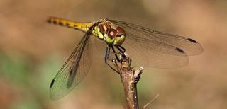 dragonfly-portrait