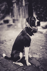 Hypnotized (mripp) Tags: art vintage retro old dog starring hypnosis black white mono monochrome pet son 7rii voigtlaender nekton 40f12