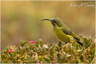 The female Sunbird!