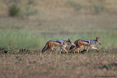 A foxy trot (leendert3) Tags: leonmolenaar southafrica krugernationalpark wildlife nature mammals blackbackedjackal ngc npc coth5