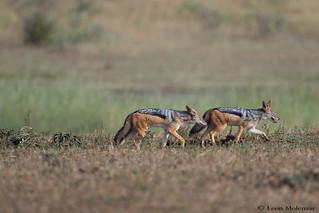 A foxy trot