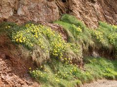 Flowers in the Cliff (Roantrum) Tags: causewaycoast countyantrim giantscauseway northernireland roantrum sandstonerocks