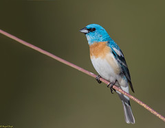 Lazuli Bunting (Sarbhloh/Harjeet) Tags: