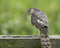 Sparrowhawk (lord wardlaw) Tags: sparrowhawk belvide wildlife