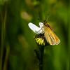 Bud Popper (Portraying Life, LLC) Tags: dbg6 da3004 hd14tc k1mkii michigan pentax ricoh unitedstates butterfly closecrop handheld nativelighting skipper meadow daisy flower