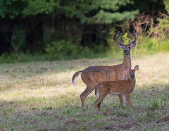 Happy Father's Day! (WhiteEye2) Tags: whitetaileddeer buck fawn wildlife nature ct connecticut deer