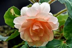 Begonia (chooyutshing) Tags: flower begonia begoniabrilliance floraldisplay flowerdome gardensbythebay baysouth marinabay singapore