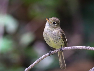 Catchlights ... Pacific Slope Flycatcher Temescal Canyon Los Angeles California 161-161