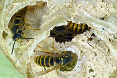 Wespennest (German Circle) Tags: wespe wespen wasps wespennest wasp waspsnest insekten insekt insects insect tiere animals macro makro