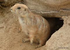 Nieuwsgierig (Ilona67) Tags: dierentuin emmen wildlands prairehond