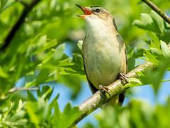 Sedge warbler (ian._harris) Tags: nikon naturaleza nature sigma 500mmf45 d7200 naturephotography natural fowlmere may
