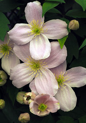 Clematis Montana Cluster (Nick_Fisher) Tags: clematis montana nickfisher