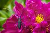 Grand capricorne (bebopeloula) Tags: photorobertcrosnier 2018 89 bleignylecarreau bourgogne europe faune france nikond700 yonne animaux couleurs extérieur grandcapricorne invertébrés jardin macro pivoine