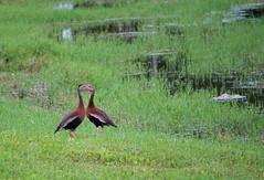 Eye to eye (ironicdream) Tags: lake bird duck waterfowl florida explore explored blackbelliedwhistlingduck 7dwf fauna