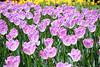 _NCL7047-Edit (chitoroid) Tags: nikond750 afsnikkor2470mmf28ged japan hokkaido sapporo flower