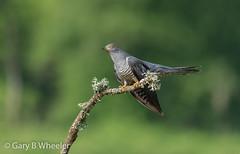 Cuckoo (Ponty Birder) Tags: g b wheeler garywheeler pontybirder birds cuckoo surrey england