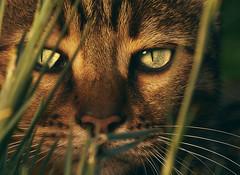 Hunter (graemes83) Tags: pentax macro close up flash garden grass eyes cat hunting stare pet animal