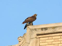 Mrs. Grant Dresses a Pigeon - 0402 (rbs10025) Tags: redtailedhawk buteojamaicensis bird manhattan nyc