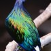 The iridescent plumage of the Nicobar Pigeon