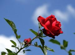 Festival de roses (moscouvite) Tags: heleneantonuk sonydslra450 autriche vienne fleurs rose voyage