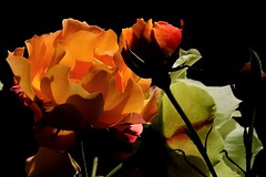 Rosas (ameliapardo) Tags: rosas floresfloresyplantas macrodeflores macrodefloresyplantas fujixt1 leicamacror60 sevilla andalucia españa