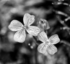 Tiny and Beautiful!😊🌹😊 (LeanneHall3 :-)) Tags: mono blackandwhite flower flowersarefabulous flowerflowerflower flowersarebeautiful macro macrophotography closeup closeupphotography garden bokeh canon 1300d