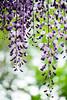 straight/直 (kurupa_m) Tags: wisteria flower purple plant macro spring hokkaido sapporo fujifilm xt10 藤 春 紫 北海道 札幌 百合が原公園