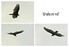 Vol d'un oiseau de proie... /  Prey bird flying... (Pentax_clic) Tags: imgp5666 urubu oiseau proie anse vaudreuil juin 2018 robert warren pentax kr 18135
