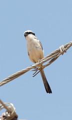 Long-tailed Shrike at Ranthambore S24A9702 (grebberg) Tags: ranthambore bird rajasthan india march 2018 longtailedshrike laniusschach lanius shrike