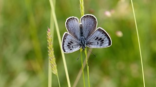 Large blue ~ Phengaris arion