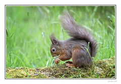 Nut Hunt (Seven_Wishes) Tags: lockerbie eskrigg outdoor photoborder canoneos5dmarkiv sigma150600mmf563dgoshsmcontemporary eskriggnaturereserve animals wildlife nature dof depthoffield rodent mammal redsquirrel squirrel woodland animal jo grass log edoliverphotography 2018 views5k