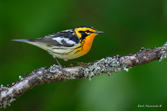 Blackburnian Warbler (Earl Reinink) Tags: bird wildlife nature animal woods tree branch spring earl reinink earlreinink warbler songbird blackburnianwarbler otzazdrdza