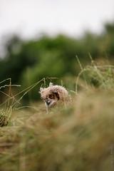 IMG_2333 (TvdMost) Tags: afrikaanseoehoe buboafricanus fotografieworkshop oehoe owl spottedeagleowl uil valkerijschaap wilson birdofprey roofvogel