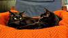 Da Boys (lennycarl08) Tags: lc cat blackcats kitties lenny carl