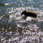 Bella the waterdog thumbnail