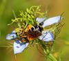 To BE🐝 (ᙢᗩᖇᓰᗩ ☼ Xᕮᘉ〇Ụ) Tags: symbiosis be bee wildflower life insect nature natur leben macro colors farben florafauna insekt wildeblume αγριολουλουδο μελισσα pollen ζωη χρωματα details nigelladamascena jungferimgrünen honey νιγκέλαηδαμασκηνή sunlight sonnenlicht canoneos1100d harmonie harmony γυρη blütenstaub