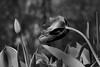 the debutante (johngpt) Tags: fujifilmxt1 fujinonxf55200mmf3548rlmois tulips flower flowers abqbotanicgardens places monochromebokehthursday hmbt