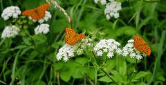 P1610543-drei auf einen Streich -- (Bine&Minka2007) Tags: kaisermantel butterfly insekten insects schmetterlinge waldrand wiesen kümmel dolden blüten