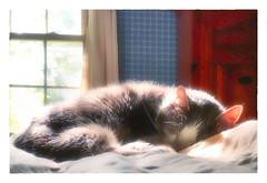 sleeping is what I do best ! (Timothy Valentine) Tags: 2018 sleeping 0518 sunshine quinnomannion happycaturday datesyearss home cat eastbridgewater massachusetts unitedstates us