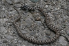 Elaphe quatuorlineata (Nelleke C) Tags: 2018 balkan fourlinedsnake montenegro nationaalparkskadarskojezero skadarlake elaphequatuorlineata herpetofauna holiday reptielen reptiles vakantie vierstreepslang