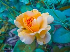 Rosa Floribunda (ZHK BlueRose) Tags: flower blooming spring blossom bloom petal tulip lavender botanical garden bed floral daffodil rosa floribunda white orange honey perfume rose zhk blue photography flowers nature photograph pics nawaz shareef park rawalpindi zhkbluerosephotography punjab pakistan