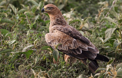 The Vigilant Eye (AnyMotion) Tags: tawnyeagle raubadler aquilarapax savannenadler bird vogel 2018 anymotion ndutu ngorongoroconservationarea tanzania tansania africa afrika travel reisen animal animals tiere nature natur wildlife 7d2 canoneos7dmarkii