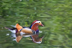 Mandarin (RichardBeech) Tags: mandarin duck waterfowl bird aixgalericulata wild wildlife nature water reflections colours colourful plumage feathers pond park outdoor yeovil somerset uk canon canon5dmarkiii canon100400mm