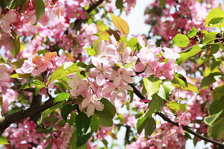 Pink flowers of apple