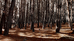 Chilean Woods (michaeldantesalazar) Tags: forest woods wood tree trees nature tall ground red chile travel traveller shadows lighting southamerica south america