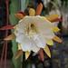 Epiphyllum Chiba Lovely Dawn