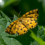 Pantherspanner - Pseudopanthera macularia (LINNAEUS, 1758) - 20180521 - P1110963 thumbnail