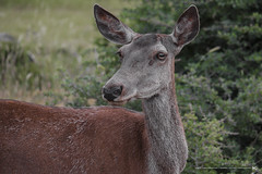 Female Red Deer (2) (nikhrist) Tags: deer reddeer female parnitha mountain animal