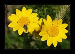 Il favoloso mondo di Antelie (41) on Explore Jun 6, 2018 - 242 (Jambo Jambo) Tags: insetto insect margherite daisies fiori flowers macro sonydscrx10m4 jambojambo
